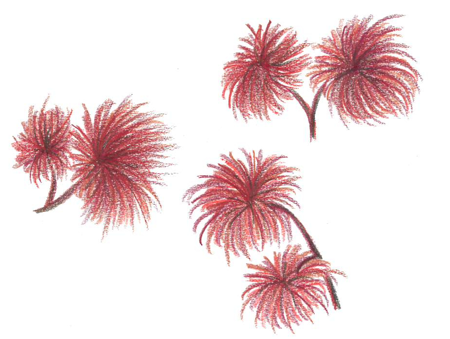 Rödslick Polysiphonia spp