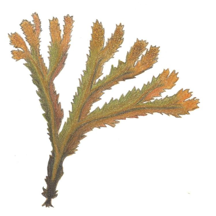 Fucus serratus sågtång